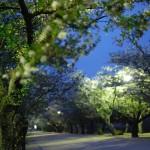 東讃岐きっての桜の名所 亀鶴公園の夜桜