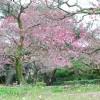 栗林公園(りつりんこうえん)の梅林。満開まであと少し!