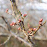 春を待つ桜の樹をみると中学校の国語の教科書にのっていたこの文章を思い出します。「言葉の力 (大岡信)」