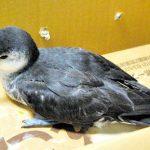島の生物多様性ってすごい。絶滅したと思われていた海鳥が小笠原諸島で20年ぶりに発見されたそうです #ritokei