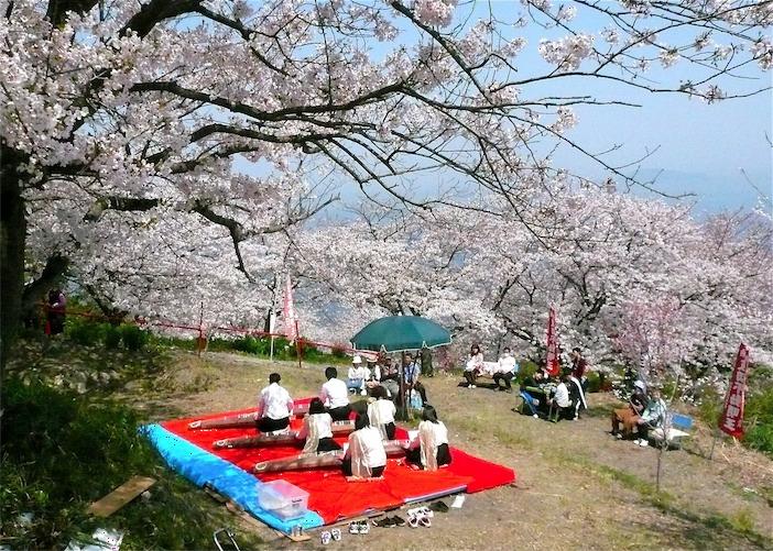 瀬戸内海のいりこの島 伊吹島の波切不動尊で桜まつり