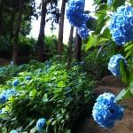 谷に咲く紫陽花。四国遍路最後の霊場、第88番札所の大窪寺