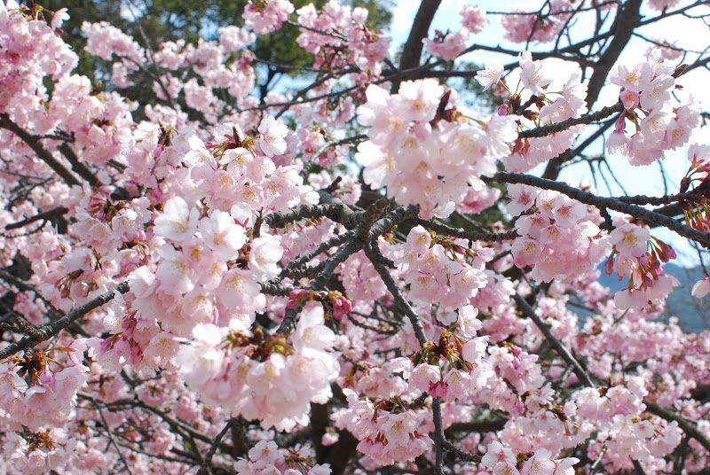 【島の固有種】小豆島の常光寺にしか咲かない桜、「ジョウコウジザクラ」