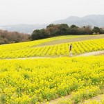 淡路島 花さじきの菜の花畑 The field of rapeseed at Awajishima island