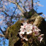 【高松で桜が開花しました】開花宣言は栗林公園から!大名庭園にある標本木。