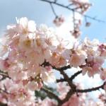 小豆島の常光寺にしか咲かない桜、「ジョウコウジザクラ」