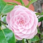 乙女椿 (おとめつばき) – Camellia japonica