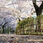 """早起きしてうどんを食べて、栗林公園の桜をみるのがオススメ Special Beauty Spot """"Ritsurin Garden"""" in the spring"""