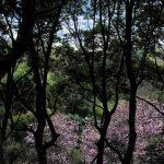 四国村の山の中の桜