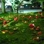 喧騒の桜並木の脇でひっそりと佇むヤブツバキが美しい There is a beautiful common camellia tree.
