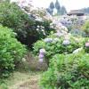 四国の山里 「あじさいの里」  -The Hydrangea Village at Shikoku