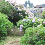 四国の山里 「あじさいの里」  – The Hydrangea Village at Shikoku