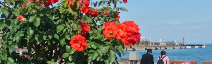 港の小さな薔薇園 Small rose garden at Takamatsu port.