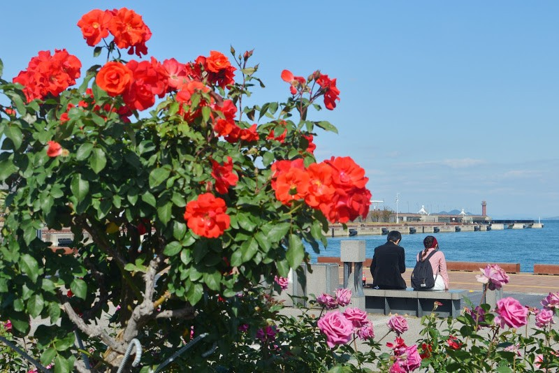 港の小さな薔薇園 Small rose garden at Takamatsu port.