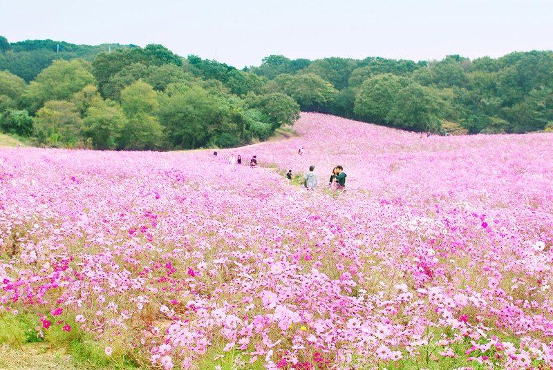 【10月中旬〜11月上旬】淡路島のコスモス畑。あわじ花さじき – The field of cosmos flowers at Awaji island