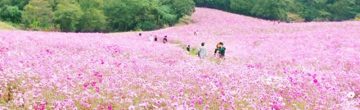 【10月中旬〜11月上旬が見頃】 淡路島の「あわじ花さじき」でコスモスが見頃です! The field of cosmos flowers at Awaji island