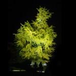 闇夜に浮かぶ金色の大銀杏。栗林公園の銀杏が美しい The beautiful large gingko tree at Ritsurin Garden