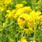 棚田に菜の花の黄色い絨毯。徳島県神山江田地区 The beautiful field mustard at Kamiyama