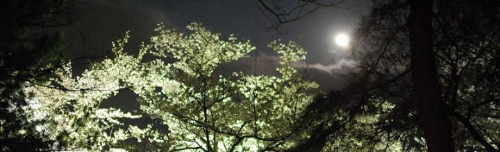 栗林公園、春のライトアップ Nighttime event of Cherry blossoms in Ritsurin Garden
