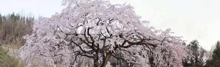 香川県綾川町の堀池のしだれ桜 Weeping cherry of Horiike pond