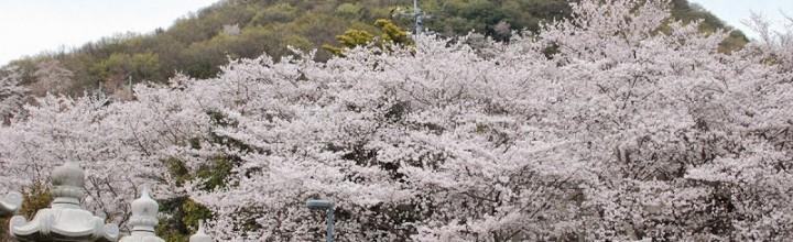 桜を見にことでんに乗って白山神社へ Cherry trees at Hakusan Shrine, Kagawa pref.