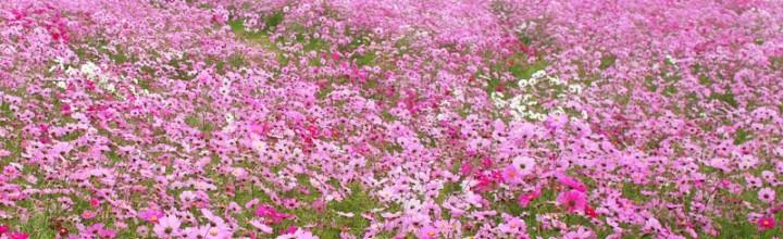 見渡すかぎり秋桜(コスモス)の絨毯!淡路島・あわじ花さじき