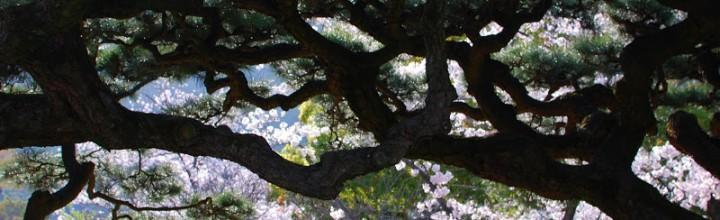 【高松市は松盆栽シェア8割!】大名庭園栗林公園桜は松越しに見る There are 350 cherry blossom trees in Ritsurin garden.