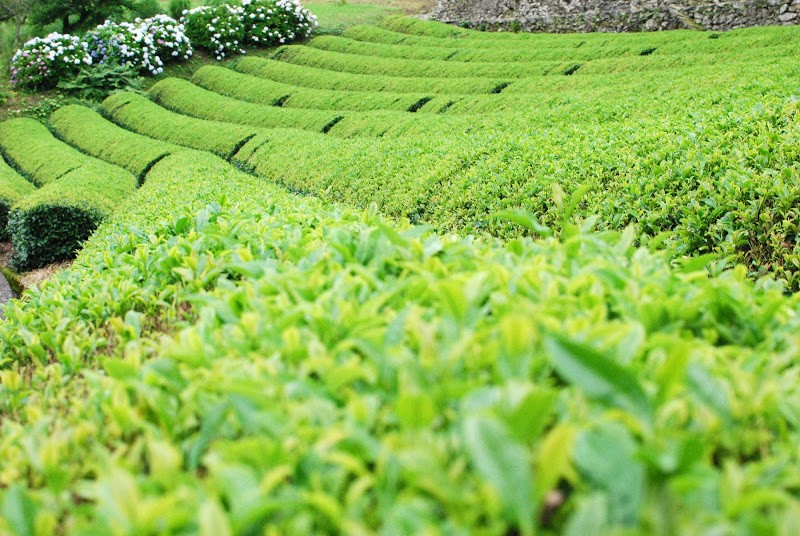【四国は茶処!】夏も近づく八十八夜。四国も茶摘みの季節 Picking of the first tea of the season.