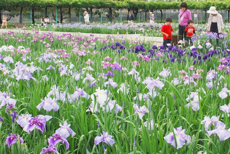 80種類1万8千株の花菖蒲。かわつ花菖蒲園
