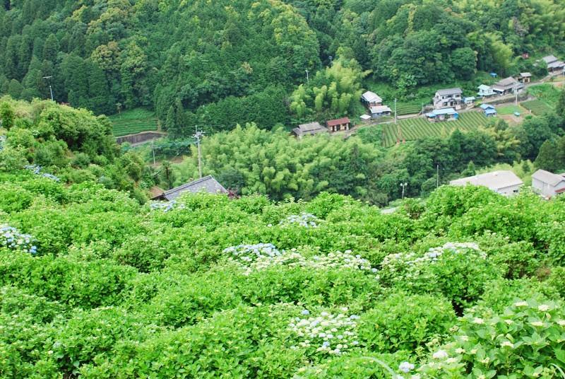 あじさいの里、四国中央市新宮町