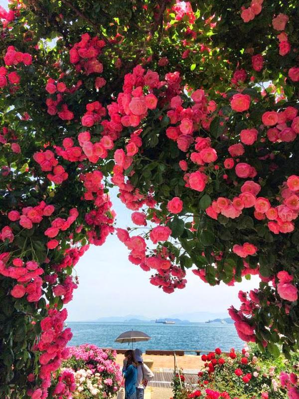 高松港のバラ園が満開です! rose garden at Takamatsu port