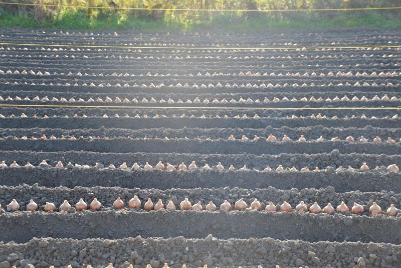 玉ねぎ植え付け