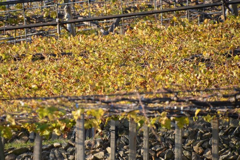 瀬戸内海沿岸、黄金色の白方ぶどう農園 Shirakata grape, Seto Inland Sea