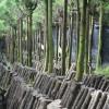 愛媛県大洲の原木椎茸 Raw shiitake mushroom farm