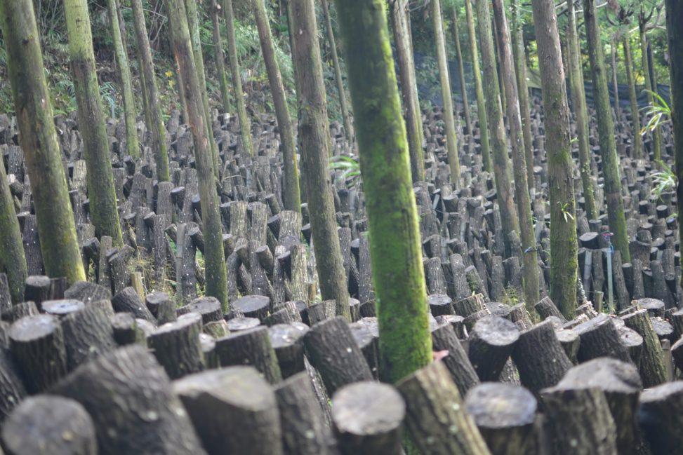 愛媛県大洲の原木椎茸 - Raw shiitake mushroom farm