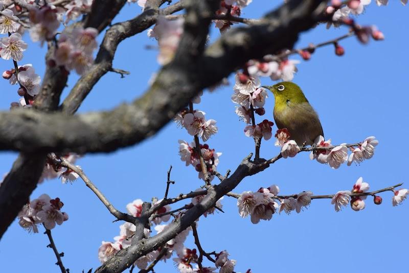 梅の香りに誘われてメジロがやってきました Birds came to ume trees at the Ritsurin Garden