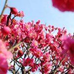 【香川 2/22-23】栗林公園の梅が見頃です。江戸時代から親しまれてきた梅園 – [Kagawa Feb 22-23] Ritsurin Garden Japanese Apricot Trees