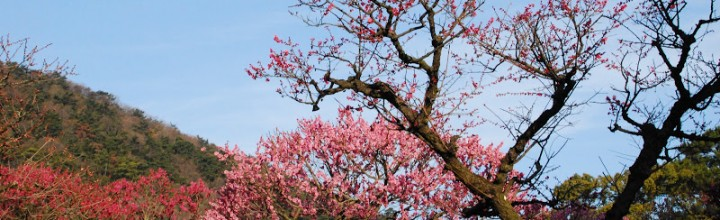 栗林公園の梅が見頃です。江戸時代から百花園として親しまれてきた美しい梅園です。