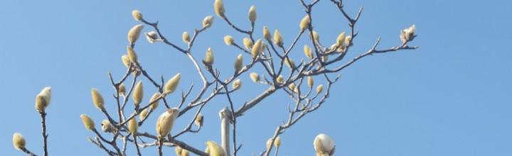 白木蓮(ハクモクレン)が咲きそうです