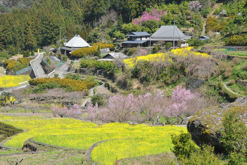 【徳島】棚田に菜の花の黄色い絨毯。神山町江田 – The beautiful field mustard at Kamiyama