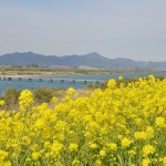 吉野川沿いの菜の花畑