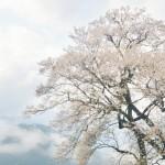 樹齢500年、霧の中のひょうたん桜 Gourd‐shaped cherry blossoms