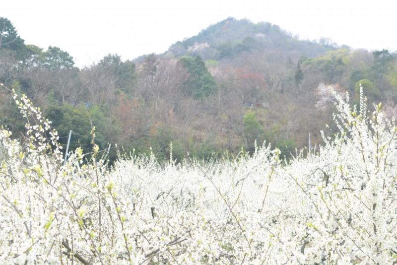 スモモのお花見 plum blossoms