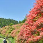 【樹齢300年・国指定天然記念物・西日本最大の群落】船窪のオンツツジ
