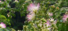 佐那河内村のネムノキ Persian silk tree