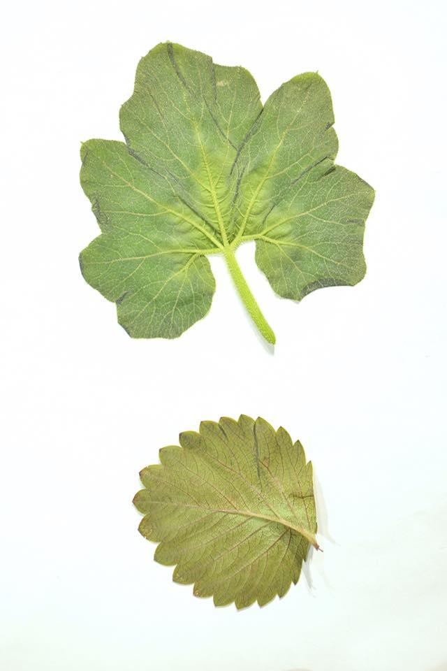 leaves_pumpkin_momoichigo