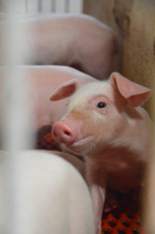 大根との物々交換で始まった養豚。「讃岐もち豚」