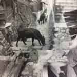 男木島で飼育されていた「かりこ牛」