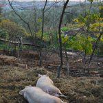 小豆島の自然放牧、鈴木さんの杜豚(もりぶた)