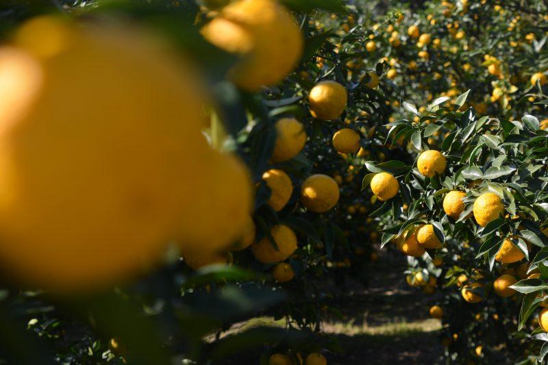 村の柚子。いい香り。